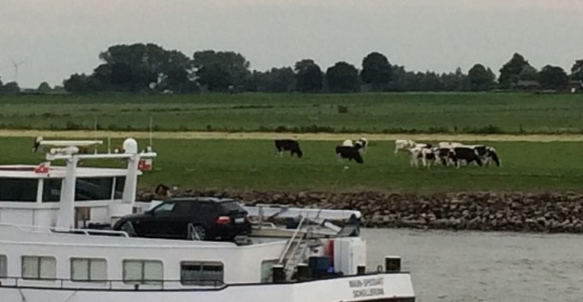 cows and barge on rhine
